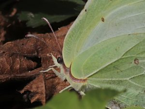 Žluťásek řešetlákový Gonepteryx rhamni