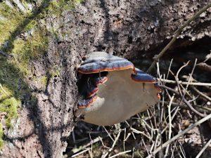 Troudnatec pásovaný Fomitopsis pinicola