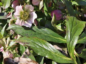 Čemeřice východní Helleborus orientalis