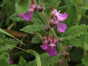 Ožanka kalamandra Teucrium chamaedrys L.