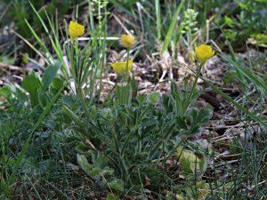 Pryskyřník hlíznatý Ranunculus bulbosus