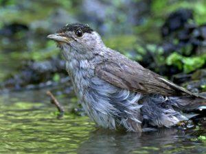 Pěnice černohlavá evropská Sylvia atricapilla atricapilla