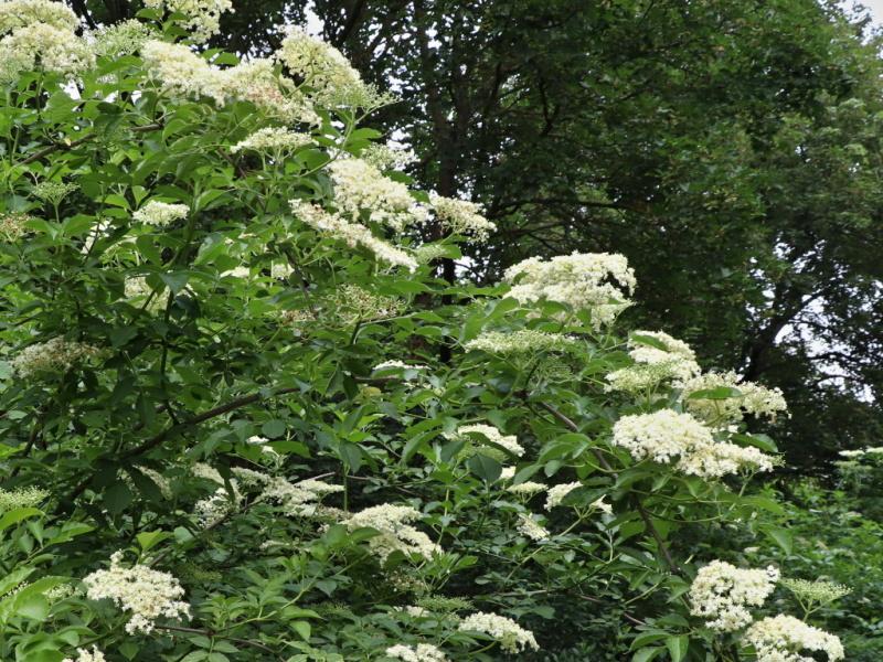 Bez černý Sambucus nigra L.