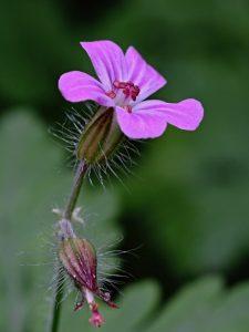 Kakost smrdutý Geranium robertianum L.