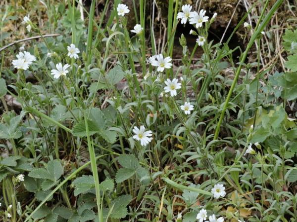 Rožec rolní  Cerastiun arvense L.
