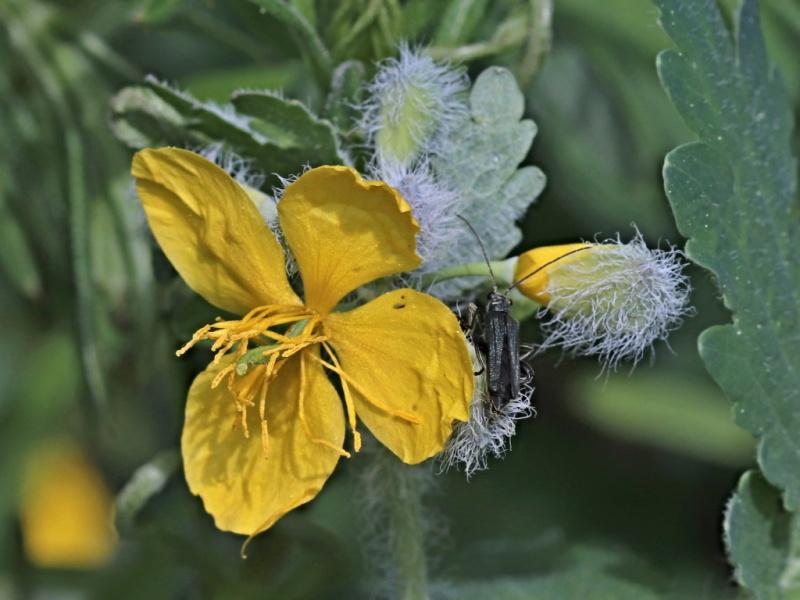 Vlaštovičník větší Chelidonium majus L.